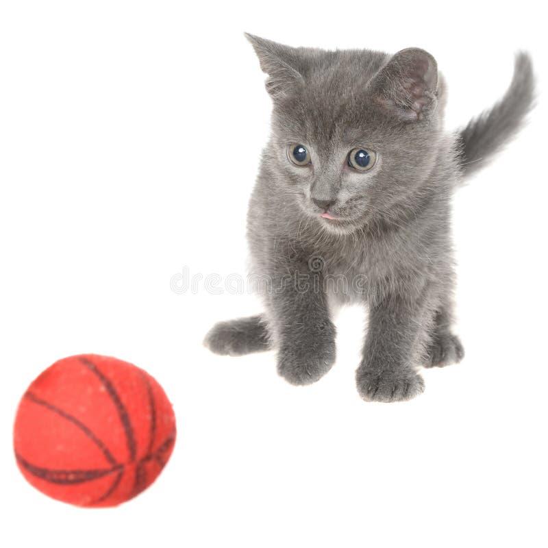Το χαριτωμένο γκρίζο γατάκι shorthair βάζει και παιχνίδια με τη σφαίρα του νήματος που απομονώνονται στοκ εικόνα