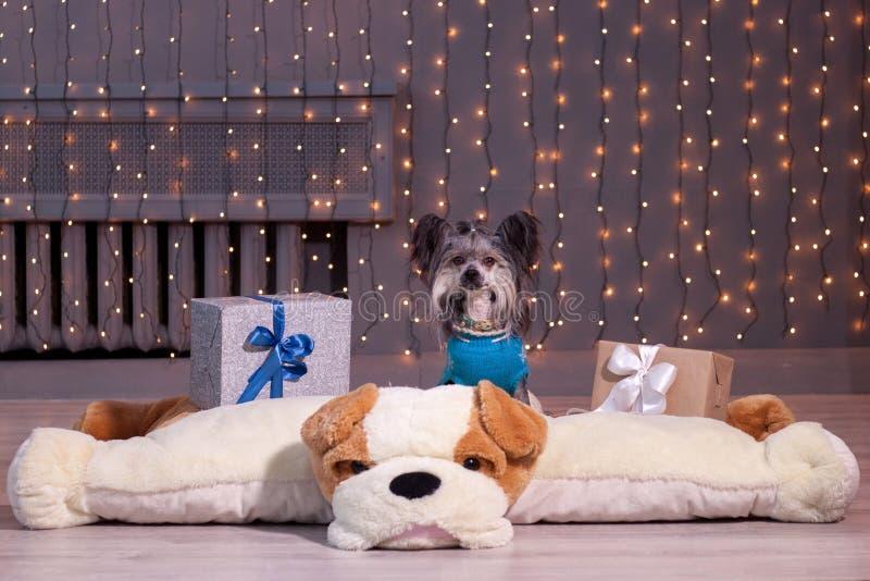 Το χαριτωμένο κινεζικό λοφιοφόρο σκυλί κάθεται σε ένα μαλακό σκυλί παιχνιδιών Δώρα εορτασμού στοκ εικόνα