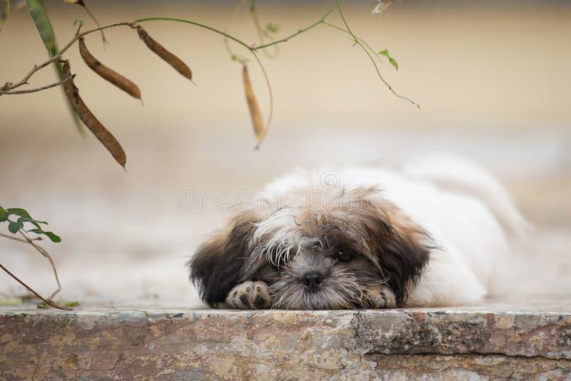 Το χαριτωμένο κουτάβι shih-Tzu καθορίζει στο έδαφος στοκ φωτογραφίες