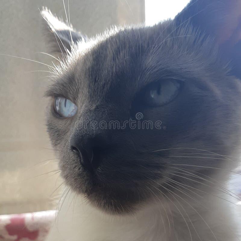 Το χαριτωμένο μπλε γατακιών ragdoll το σημείο στοκ εικόνες