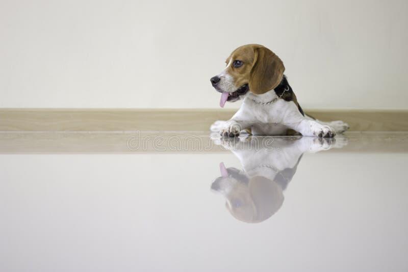 το χαριτωμένο σκυλί κουταβιών λαγωνικών στοκ φωτογραφία με δικαίωμα ελεύθερης χρήσης