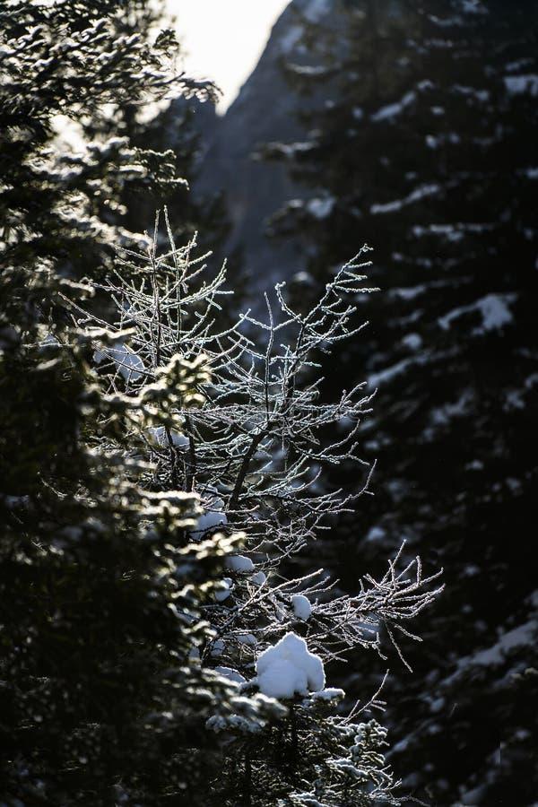 Το χιόνι στα πεύκα στοκ εικόνες με δικαίωμα ελεύθερης χρήσης