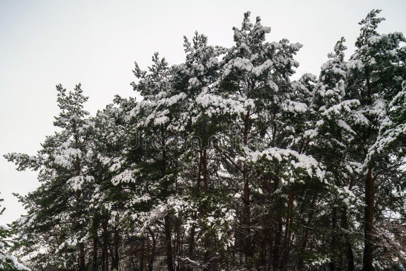 Το χιόνι στους κομψούς κλάδους δέντρων στα ξύλα σε έναν γκρίζο και το κρύο κερδίζουν στοκ εικόνες
