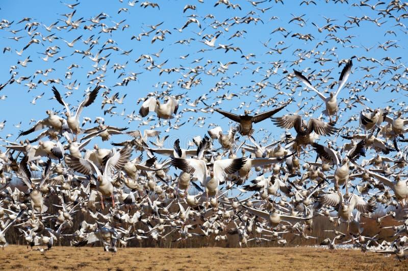 το χιόνι χήνων πτήσης παίρνει στοκ εικόνες με δικαίωμα ελεύθερης χρήσης