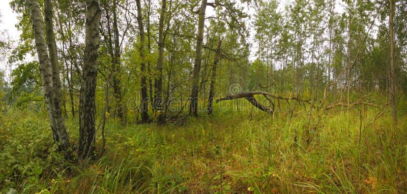 Το χλοώδες δάσος με τη σημύδα και τα δέντρα στοκ εικόνα