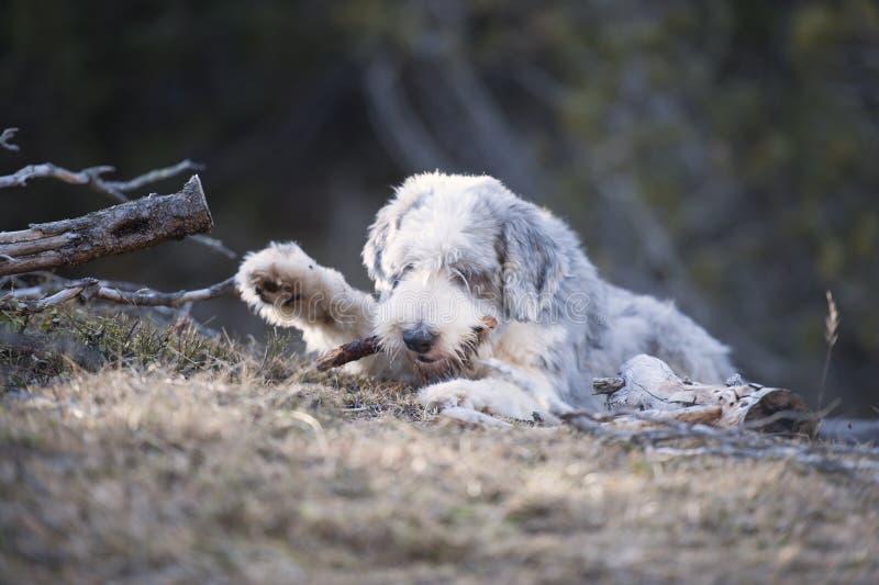 Το χνουδωτό σκυλί δαγκώνει ένα ξύλινο ραβδί στοκ εικόνα με δικαίωμα ελεύθερης χρήσης
