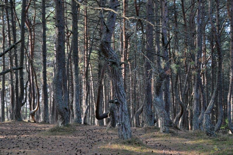 Το χορεύοντας δάσος του οβελού Curonian Ρωσία στοκ φωτογραφίες