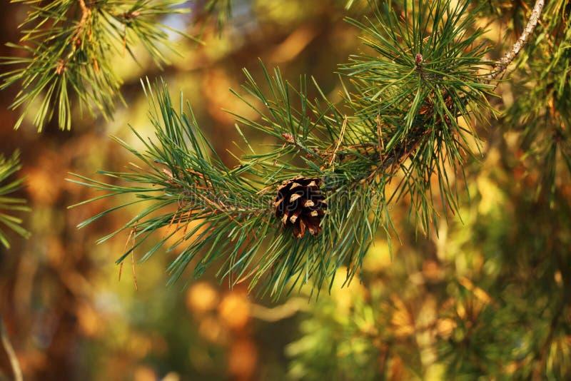 Το χριστουγεννιάτικο δέντρο είναι καλό στο φωτεινό φως, και όμως είναι κυρία του μισού φωτός στοκ φωτογραφία