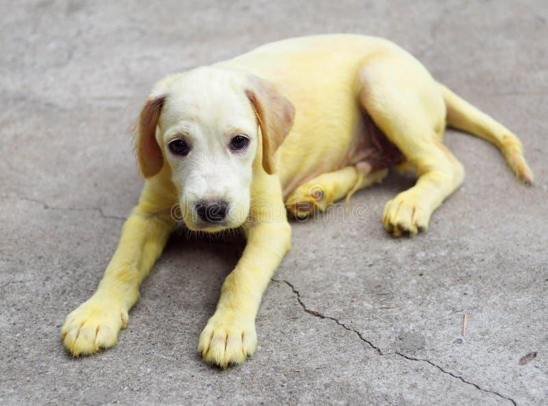 Το χρυσό κίτρινο χρώμα λίγο χαριτωμένο μακρυμάλλες σκυλί κουταβιών με τα scabies ξεφλουδίζει μεταχειρισμένος με την ιατρική εγχώρ στοκ φωτογραφίες