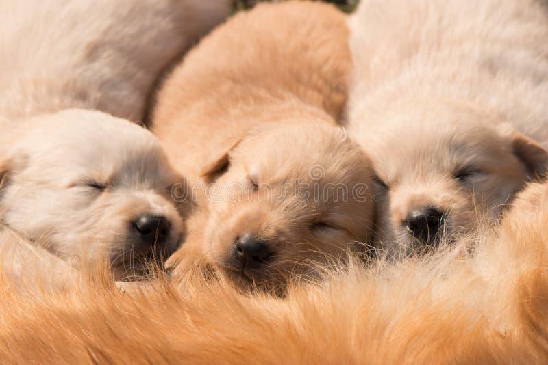 Το χρυσό κουτάβι κοιμάται στοκ φωτογραφία