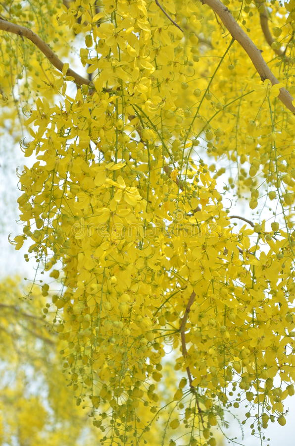 Το χρυσό ντους ή το συρίγγιο της Cassia είναι άνθιση στο δέντρο στοκ φωτογραφία με δικαίωμα ελεύθερης χρήσης