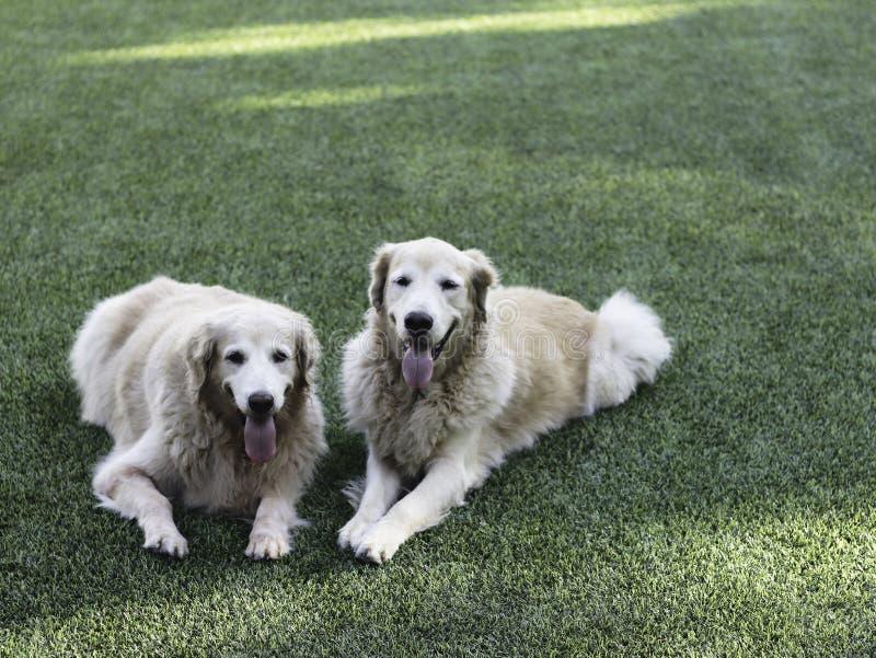 Το χρυσό retriever δύο σκυλί καθορίζει στο πράσινο χαμόγελο χλόης στη κάμερα στοκ εικόνα με δικαίωμα ελεύθερης χρήσης