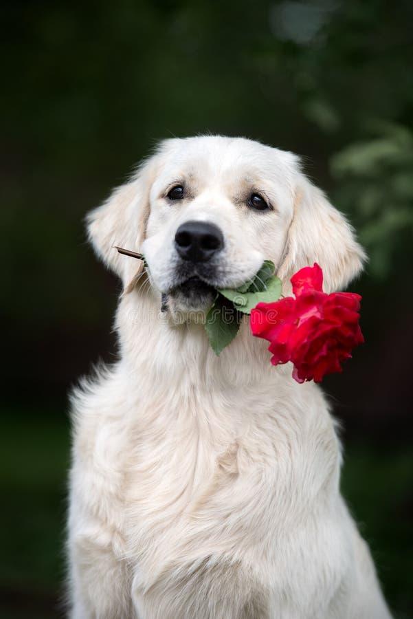 Το χρυσό retriever σκυλί που κρατά ένα κόκκινο αυξήθηκε στο στόμα στοκ φωτογραφίες