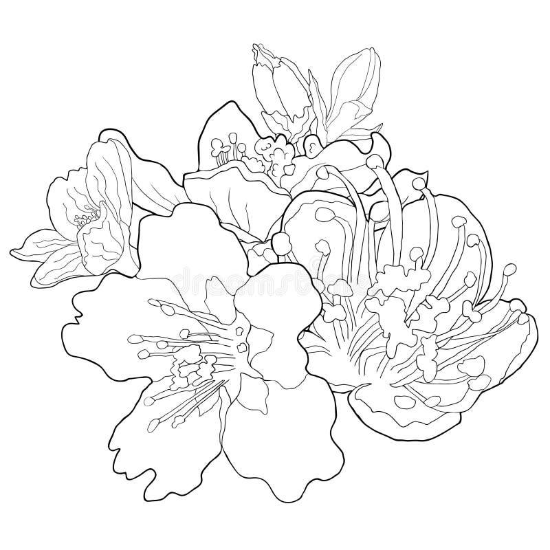Το χρωματίζοντας λουλούδι του αμυγδάλου ανθίζει ένα διανυσματικό illustratio καρυδιών διανυσματική απεικόνιση