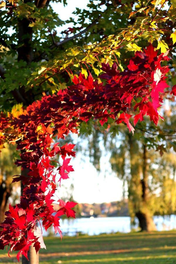 Το χρώμα του δέντρου σφενδάμνου στοκ εικόνες