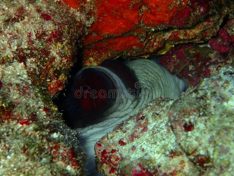 Το χταπόδι ημέρας που κρύβει κάτω από το βράχο κατά τη διάρκεια ενός ελεύθερου χρόνου βουτά στο σημείο Barracuda, νησί Sipadan, S στοκ φωτογραφίες