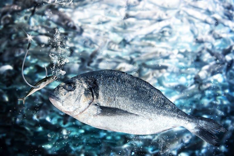 Το ψάρι παίρνει το δόλωμα στο θέλγητρο στοκ εικόνες