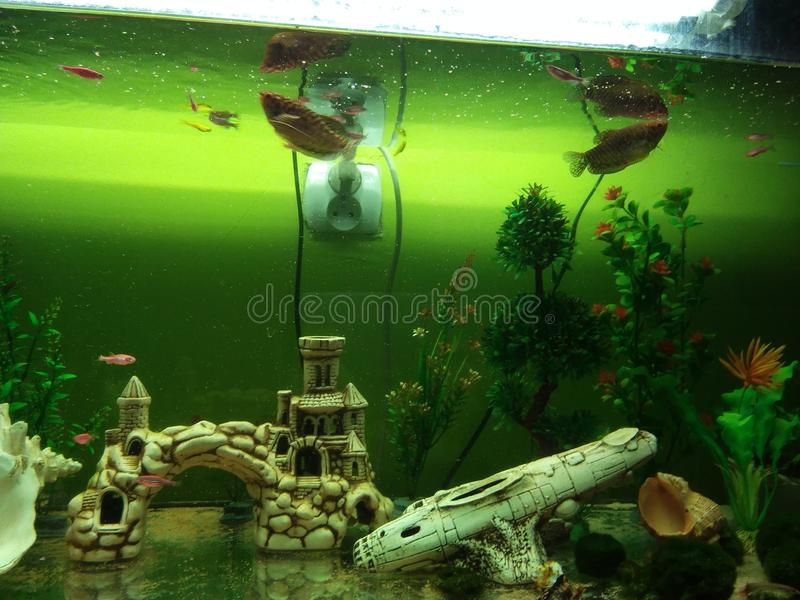 Το ψάρι gurami Dan φυτεύει τα τεχνητά κοχύλια και το φερμουάρ σε ένα μεγάλο ενυδρείο στοκ εικόνες