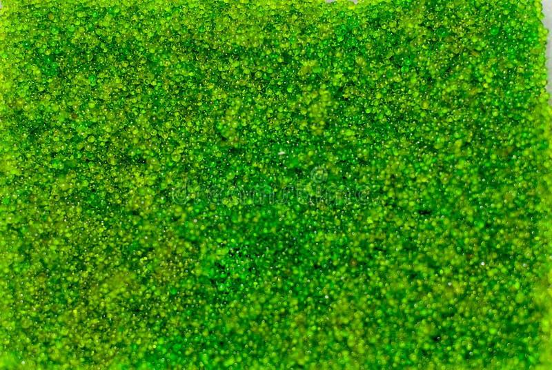 Το ωοειδές φύκι σταφυλιών θάλασσας, κλείνει επάνω το πράσινο χαβιάρι που απομονώνεται στο άσπρο υπόβαθρο στοκ φωτογραφίες