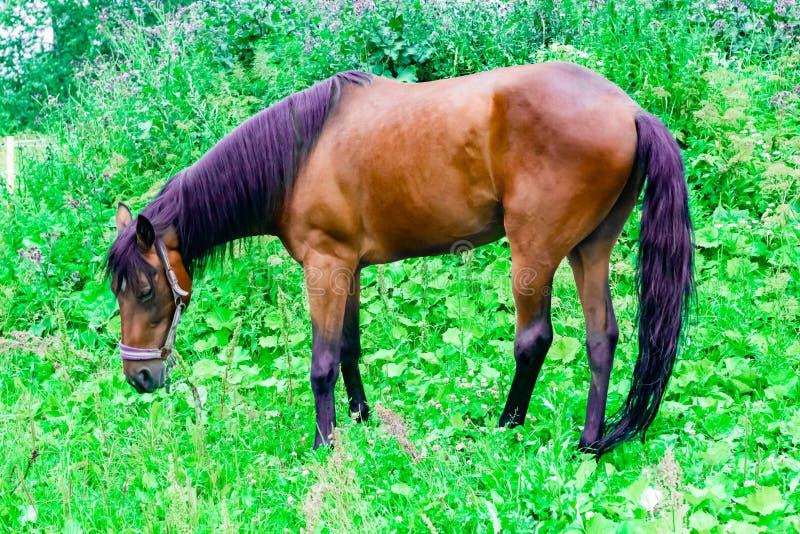 Το όμορφο άλογο κάστανων με έναν μαύρο και πορφυρό Μάιν βόσκει σε ένα πράσινο λιβάδι στοκ φωτογραφία με δικαίωμα ελεύθερης χρήσης