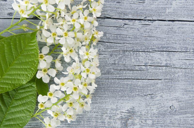Το όμορφο αγροτικό φυσικό υπόβαθρο άνοιξη με τους ανθίζοντας κλάδους και τα λουλούδια κερασιών πουλιών για το διάστημα αντιγράφων στοκ εικόνα
