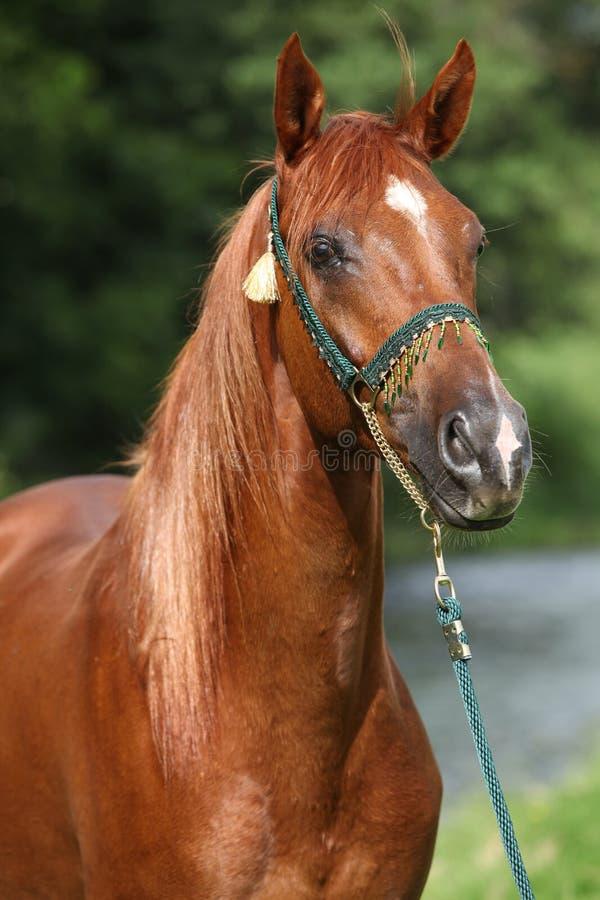 Το όμορφο αραβικό άλογο με συμπαθητικό παρουσιάζει halter στοκ εικόνα