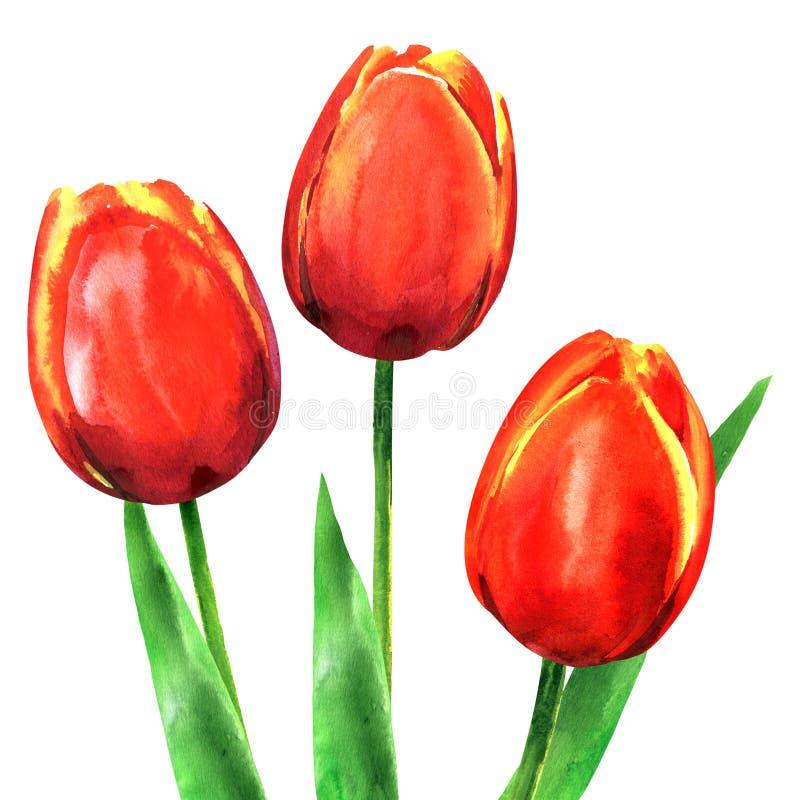 Το όμορφο ελατήριο τρία ανθίζει τις τουλίπες με τα φύλλα που απομονώνονται, συρμένη χέρι απεικόνιση watercolor στο λευκό διανυσματική απεικόνιση