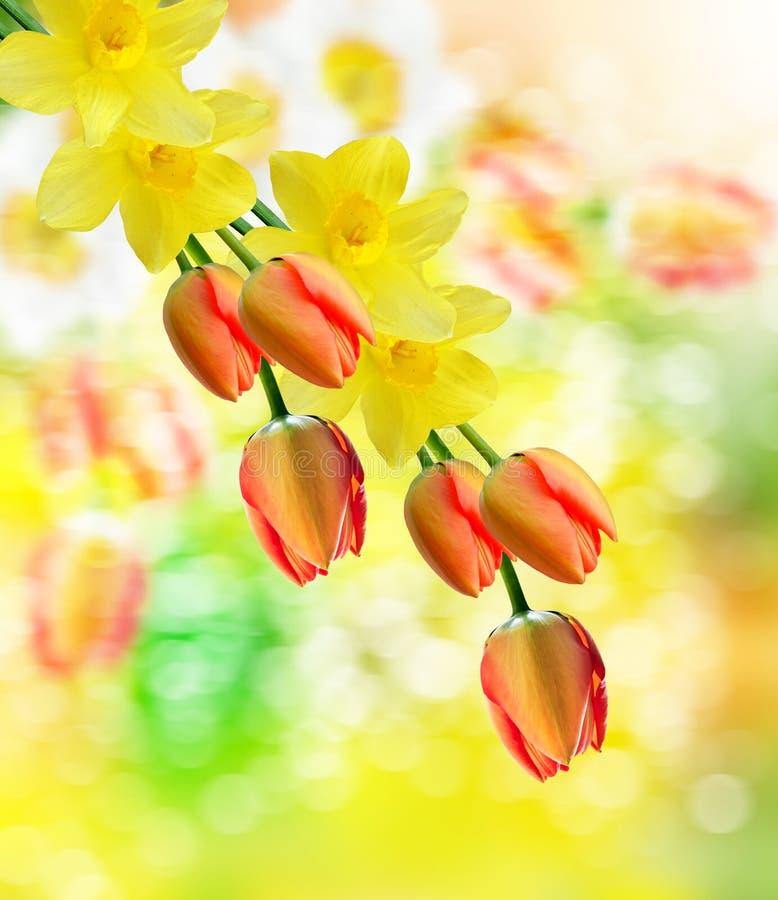 το όμορφο ελατήριο ανθίζει daffodils Κόκκινη τουλίπα στοκ φωτογραφία με δικαίωμα ελεύθερης χρήσης