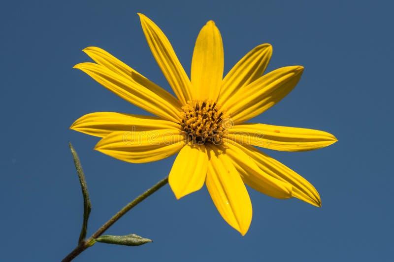 Το όμορφο κίτρινο λουλούδι κάνει μια όμορφη αντίθεση με το μπλε ουρανό στοκ φωτογραφία με δικαίωμα ελεύθερης χρήσης