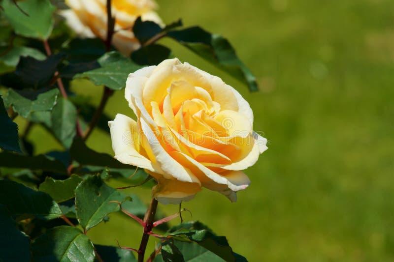 Το όμορφο κίτρινο χρώμα αυξήθηκε ανθισμένος στον κήπο στοκ φωτογραφία