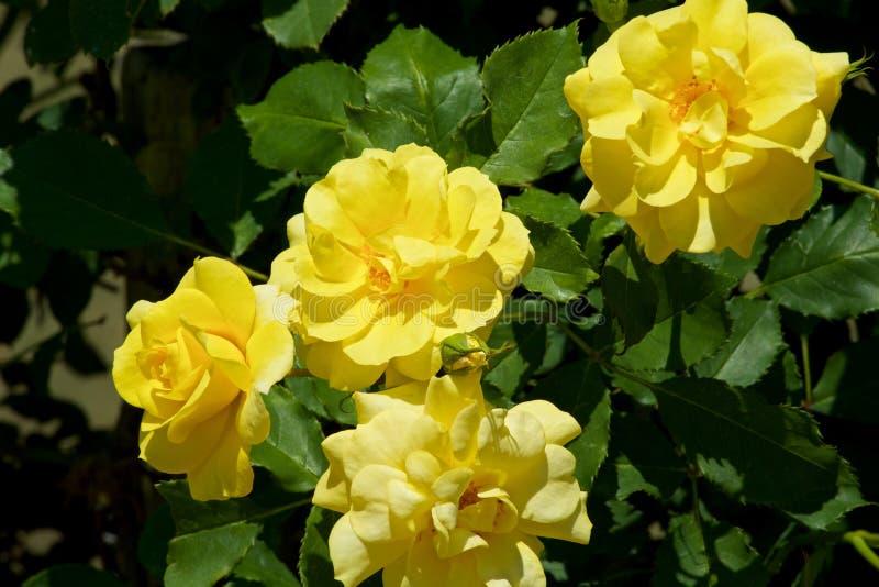 Το όμορφο κίτρινο χρώμα αυξήθηκε ανθισμένος στον κήπο στοκ εικόνες