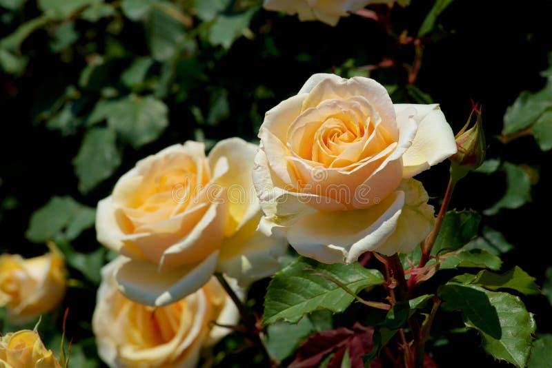 Το όμορφο κίτρινο χρώμα αυξήθηκε ανθισμένος στον κήπο στοκ φωτογραφία με δικαίωμα ελεύθερης χρήσης