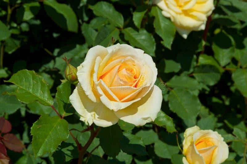 Το όμορφο κίτρινο χρώμα αυξήθηκε ανθισμένος στον κήπο στοκ εικόνες με δικαίωμα ελεύθερης χρήσης