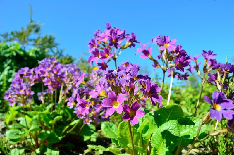 Το όμορφο και δονούμενο πορφυρό και ιώδες primula ανθίζει στη θερινή ηλιοφάνεια, λουλούδι από Andoya, Bleik στοκ φωτογραφία με δικαίωμα ελεύθερης χρήσης