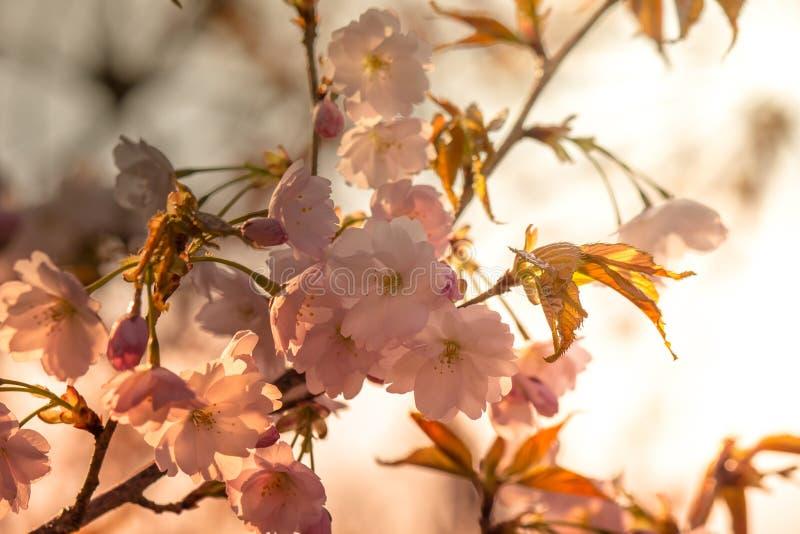 Το όμορφο κεράσι ανθίζει στο πάρκο Tenshochi, Kitakami, Iwate, Tohoku, Ιαπωνία την άνοιξη στοκ φωτογραφία με δικαίωμα ελεύθερης χρήσης