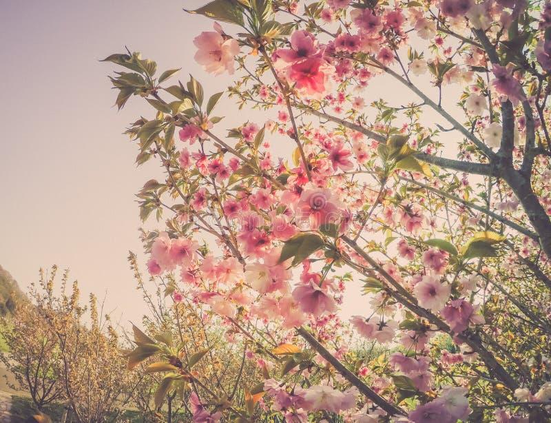 Το όμορφο κεράσι ανθίζει στο πάρκο Tenshochi, Kitakami, Iwate, Tohoku, Ιαπωνία την άνοιξη στοκ φωτογραφίες με δικαίωμα ελεύθερης χρήσης