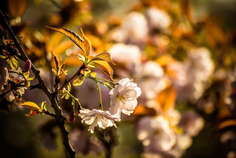 Το όμορφο κεράσι ανθίζει στο πάρκο Tenshochi, Kitakami, Iwate, Tohoku, Ιαπωνία την άνοιξη στοκ εικόνα με δικαίωμα ελεύθερης χρήσης