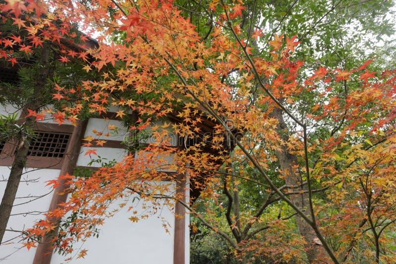 Το όμορφο κόκκινο δέντρο λάκκας du Fu το πάρκο εξοχικών σπιτιών, πλίθα rgb στοκ εικόνες με δικαίωμα ελεύθερης χρήσης