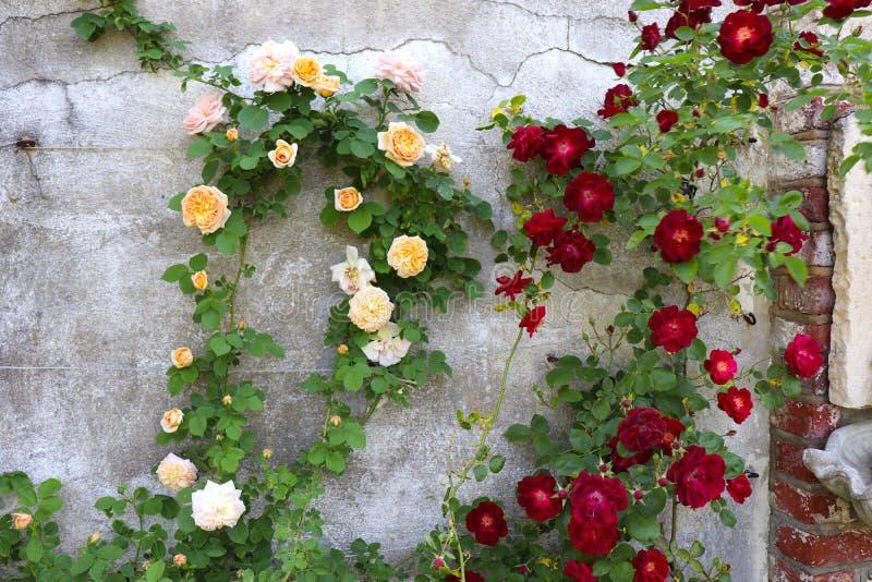 Το όμορφο κόκκινο και χρωματισμένο το ροδάκινο σχέδιο τριαντάφυλλων αναρριχούνται στον τοίχο στο αφηρημένο σχέδιο στοκ φωτογραφία με δικαίωμα ελεύθερης χρήσης
