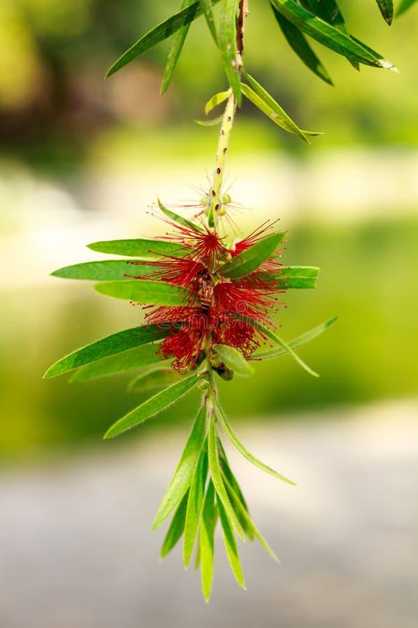 Το όμορφο κόκκινο λουλούδι με ζωηρό πράσινο βγάζει φύλλα στοκ εικόνες με δικαίωμα ελεύθερης χρήσης