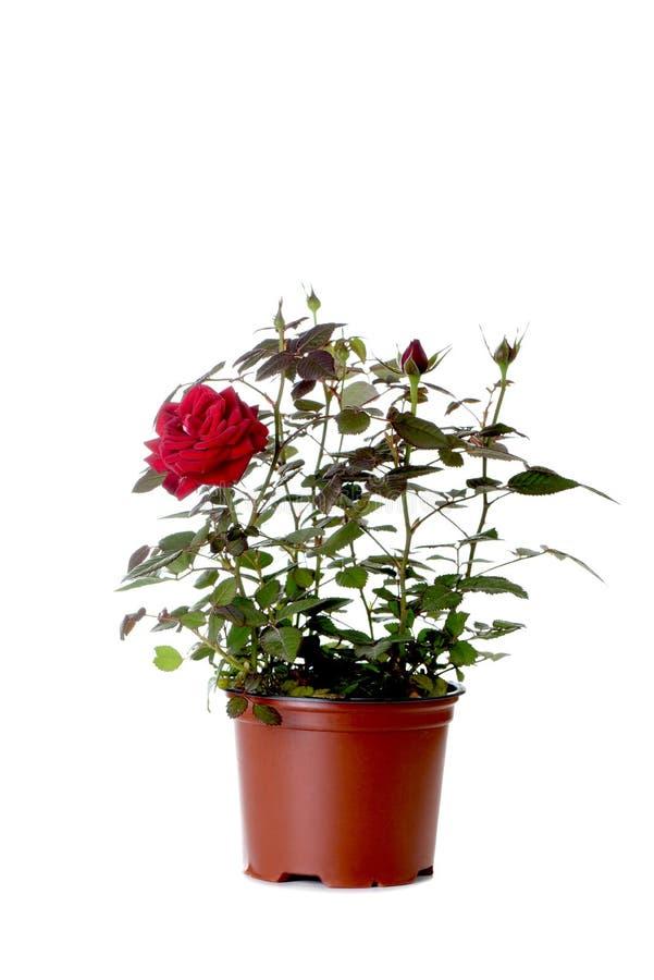 το όμορφο κόκκινο λουλ&omic στοκ εικόνες
