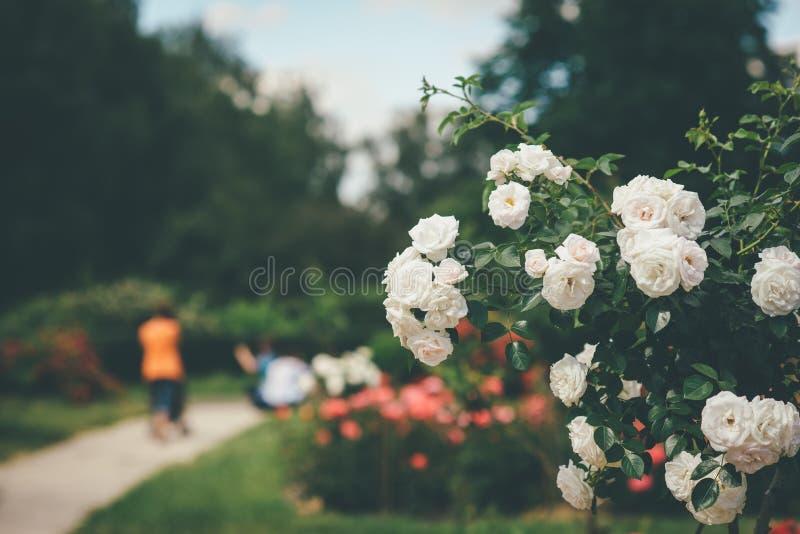 Το όμορφο λουλούδι αυξήθηκε άσπρος θάμνος στοκ εικόνες