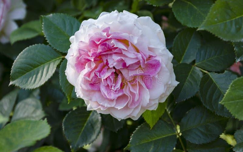 Το όμορφο λουλούδι ευώδους αυξήθηκε στον κήπο στοκ φωτογραφία