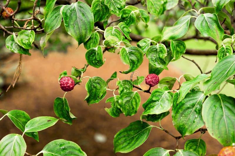 Το όμορφο μικροσκοπικό κόκκινο παρόμοιο μούρο ανθίζει σε έναν κλάδο Cornus του kousa chinensis στο βοτανικό κήπο Benmore, Σκωτία στοκ φωτογραφίες με δικαίωμα ελεύθερης χρήσης