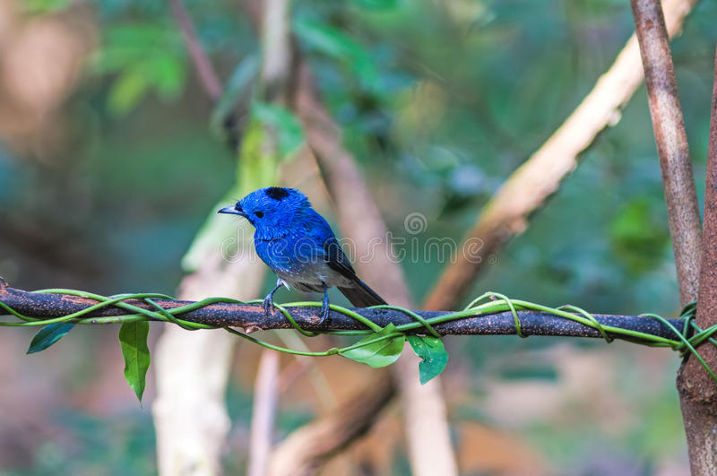 Το όμορφο μπλε πουλί μαύρος-ο μονάρχης στον κλάδο στοκ φωτογραφίες