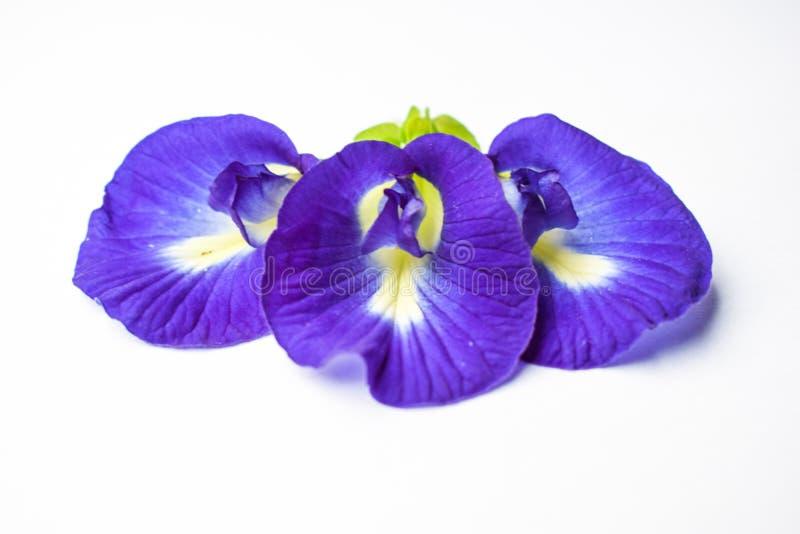 Το όμορφο πορφυρό λουλούδι, κλείνει επάνω το λουλούδι μπιζελιών πεταλούδων στο άσπρο υπόβαθρο στοκ φωτογραφία με δικαίωμα ελεύθερης χρήσης