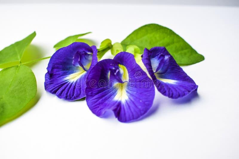 Το όμορφο πορφυρό λουλούδι, κλείνει επάνω το λουλούδι μπιζελιών πεταλούδων στο άσπρο υπόβαθρο στοκ εικόνα