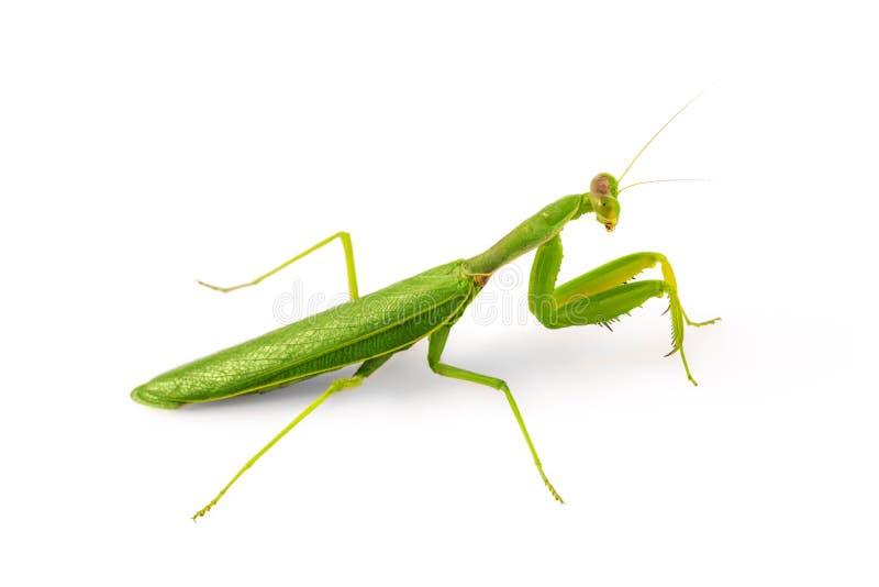 Το όμορφο πράσινο έντομο ευρωπαϊκή Mantis ή επίκληση Mantis απομονώνει στοκ εικόνες με δικαίωμα ελεύθερης χρήσης