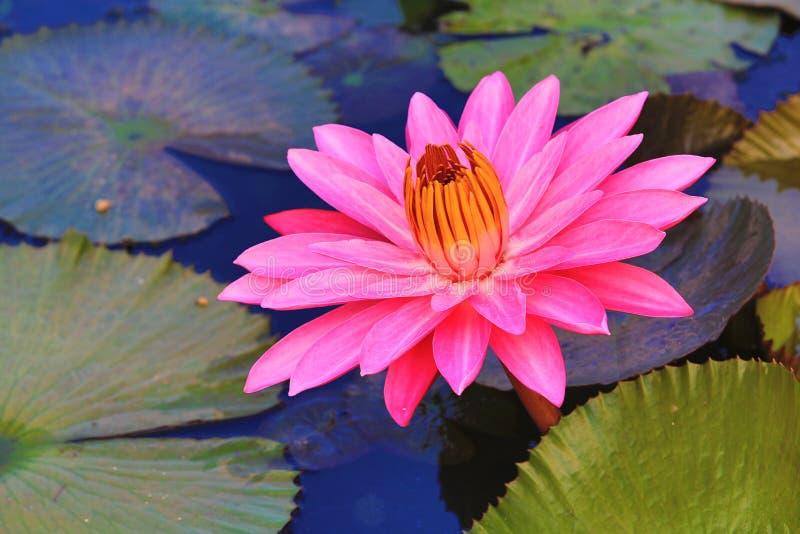 Το όμορφο ροζ ανθίζει waterlily και φύλλα που ανθίζουν στη λίμνη στοκ φωτογραφίες