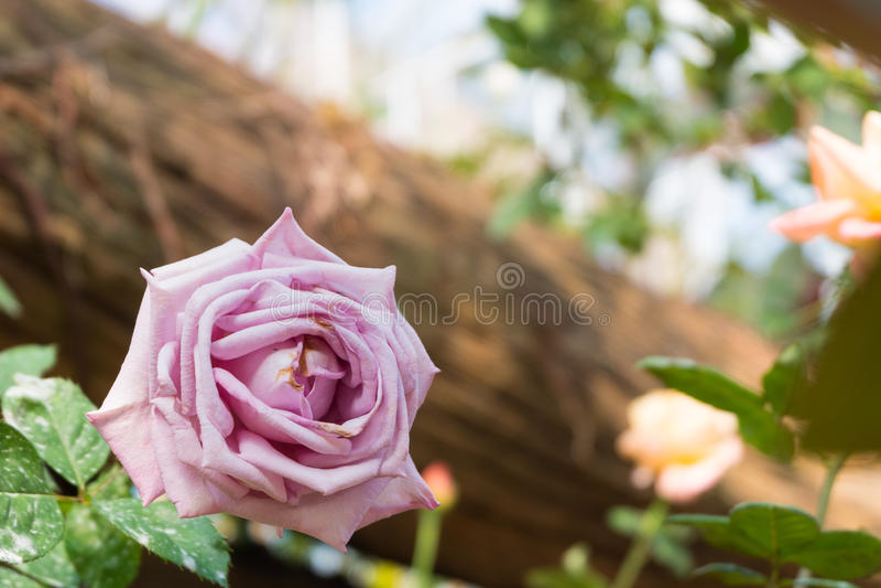 το όμορφο ροζ λουλουδ& Φυσικό υπόβαθρο χρώματος βαλεντίνος ημέρας s στοκ φωτογραφίες με δικαίωμα ελεύθερης χρήσης
